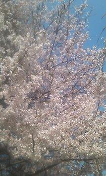 大三島の桜.jpg